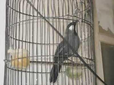 Bán 1 em Mi hót chuẩn 1 mùa lông, chim dáng trường, nuôi được 7 tháng lồng , đầu xà, mỏ búp đa