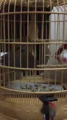 Bán chim Hoạ Mi