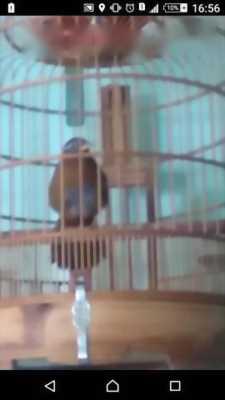 Bán chim Họa mi