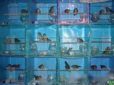 Bán chim tiểu mi Đà Lạt