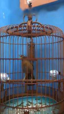 Bán chim Hoạ mi Hà Giang