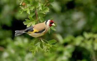 Bán chim sâu đầu đỏ 1 mùa đã dợt rừng