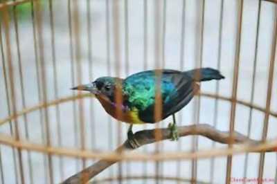 Sâu đầu đỏ và lồng giá rẽ và một số chim cần THANH LÝ!