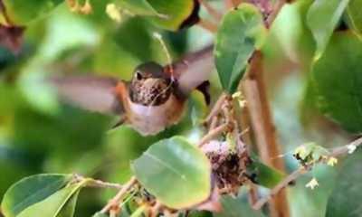 Chim sâu đầu đỏ mái ro đấu cần giao lưu chim chòe than.