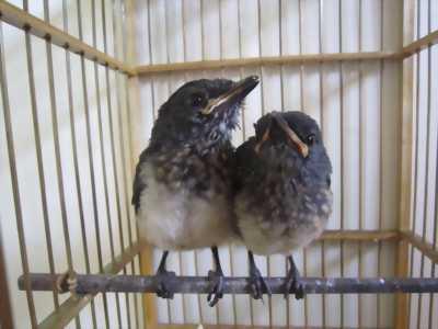 Chim Than chuyền trống