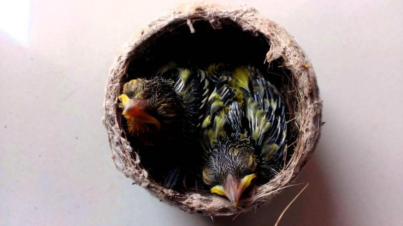 Tổ chim sâu đầu đỏ 3 con