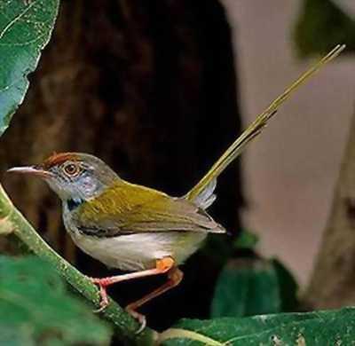 Bán chim sâu xanh hai mùa cực đỉnh
