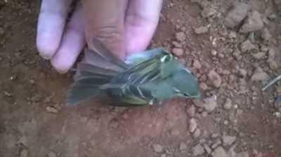 Chuyên cung cấp chim sâu xanh hay còn gọi là chim chích bông