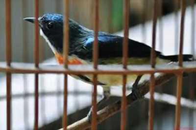 Cần bán chim  sâu xanh bổi, bẫy đấu, lông mượt
