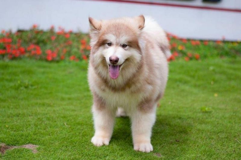 Địa chỉ những cửa hàng bán chó Alaska thuần chủng rẻ nhất TPHCM