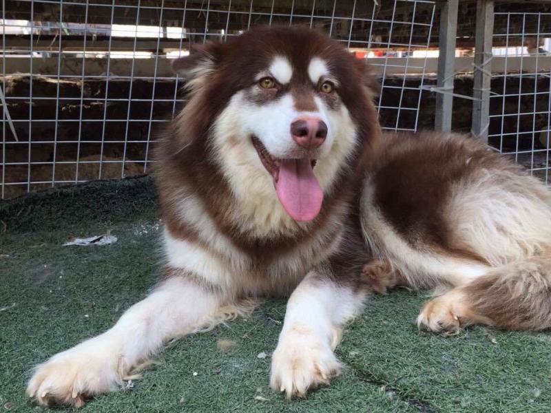 Những điều cần biết khi nuôi chó Alaska