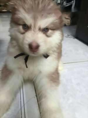 Bán chó Alaska cái thuần chủng