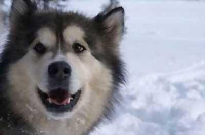 Bán Alaska Husky giá rẻ
