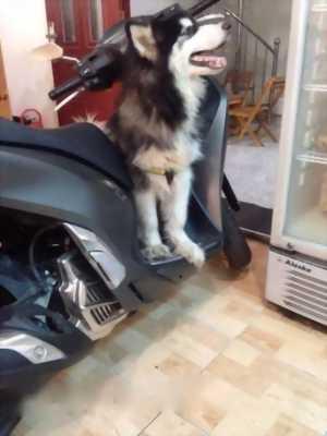 Bán chó Alaska Đực