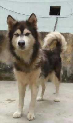 Bán chó Alaska đã đẻ một lứa
