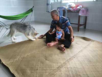 Chó Alaska Cái 3 tháng tuổi