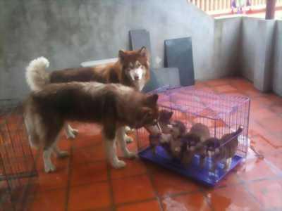 Thanh lý chó Alaska 1 tháng tuổi - 5 triệu 1 con