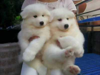 Chó Alaska lai (màu trắng)