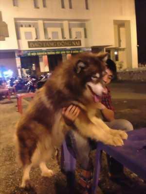 Mình cần bán con chó Alaska nuôi được 1 năm với giá rất rẻ.