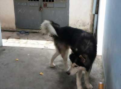Mình bán con chó Alaska đực giá rẻ bất ngờ nên các bạn an tâm.
