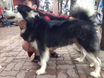 Minh bán chó Alaska 13 tháng tuổi, thuần chủng.