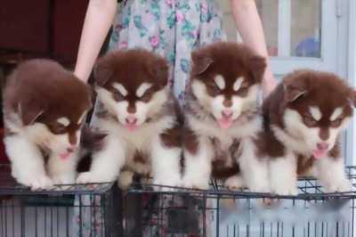 Mình bán chó Alaska, giá rẻ vô cùng