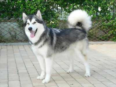 Bán chó alaska 38,5 kg