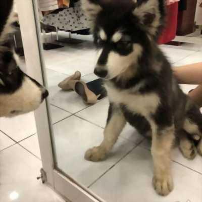 Bán em Alaska 4 tháng tuổi over size