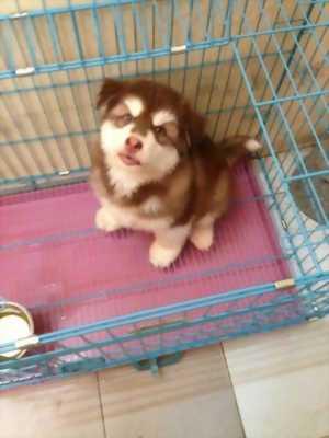 Bán chó Alaska nâu đỏ lai Husky hai tháng tuổi