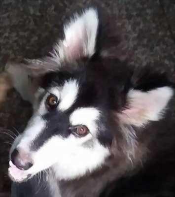 Bán chó Alaska (cái) chín tháng tuổi màu đen