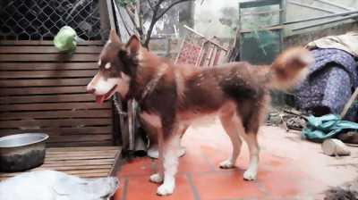 Alaska nâu đỏ bảy tháng tuổi