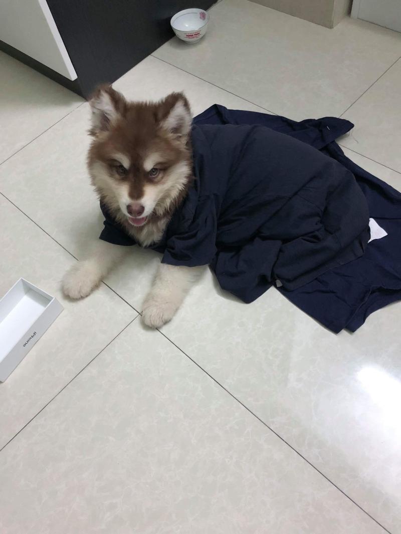 Cần bán bé alaska đực 3 tháng tuổi