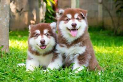 Cần bán 3 em alaska màu nâu đỏ và phấn hồng
