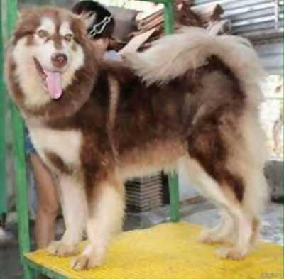 Chó alaska mẹ mới đẻ được 2 tháng do không có thời gian chăm sóc cần bán lại