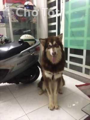 Ra đi một em chó alaska đực 12 tháng