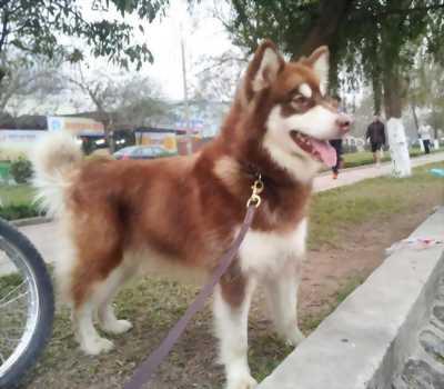 Chó alaska nâu đỏ 2 tháng rưỡi