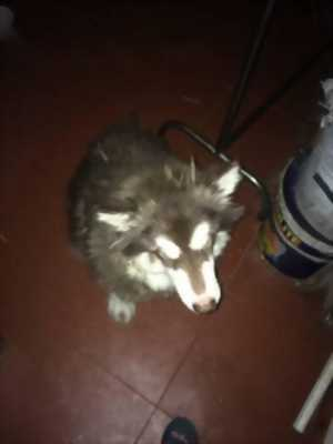Cần bán chó Alaska