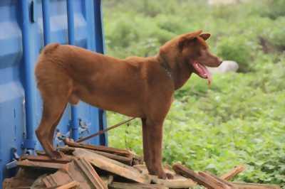 Bán chó mông đỏ cộc đuôi 7kg