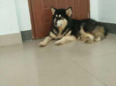 Bán lại một bé chó Alaska 5 tháng tuổi