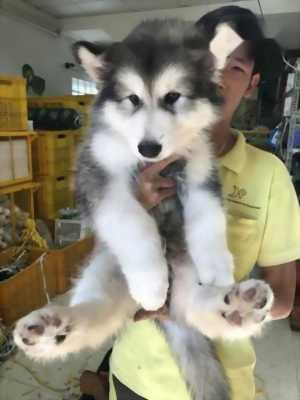 Bán chó Alaska xám sinh ngày 28/1