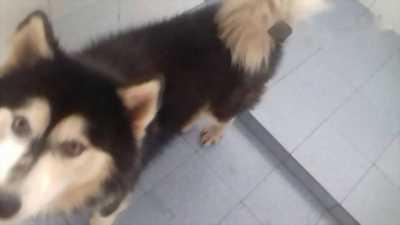 Bán chó Alaska 10 tháng