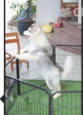Cần bán chó Alaska thuần chủng xám trắng