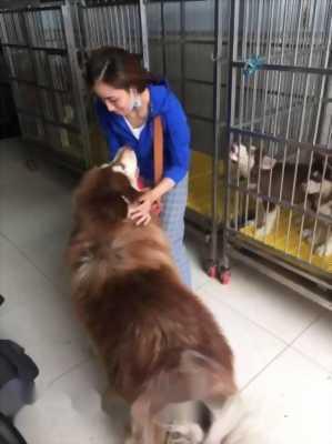 Bán chó Alaska nâu đỏ cái tơ