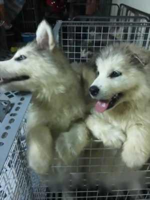 Chó Alaska màu xám