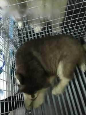Chó Alaska màu nâu 9kg
