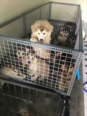 Bán nhanh chó Alaska thuần chủng