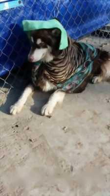Bán chó Alaska thuần chủng