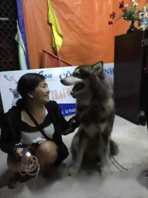 Cần bán chó Alaska thuần chủng - nhập Nga