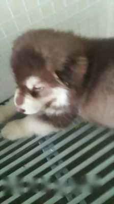 Chó alaska như hình