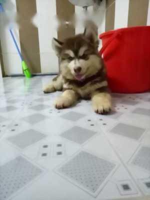 Chó Alaska màu nâu đỏ,  giống cái